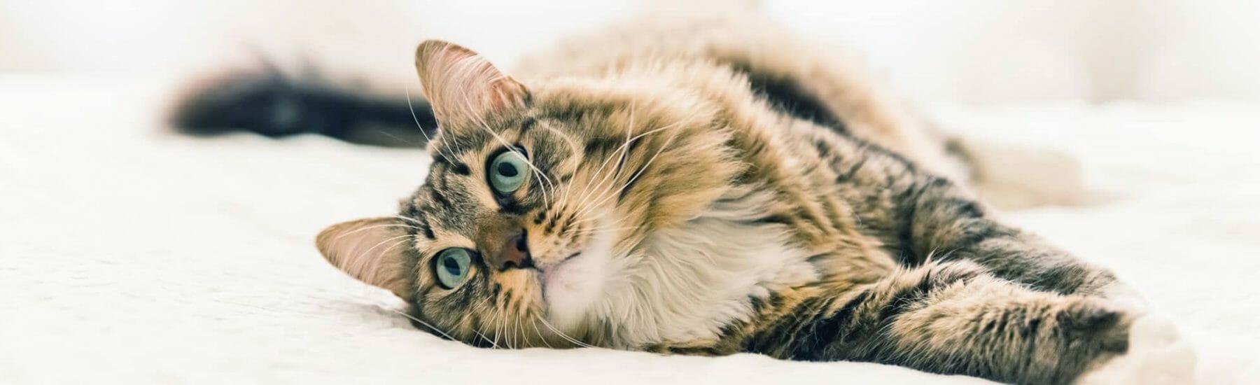 cat_spaying